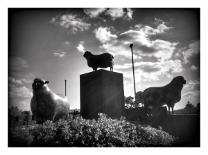 sheep_b&w1